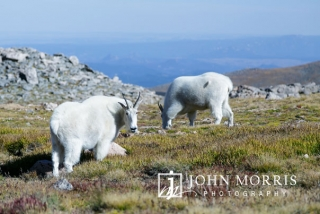 Mountain goats grazing at the summit of Mt Evans in the Rocky Mountain National Park near Denver Colorado